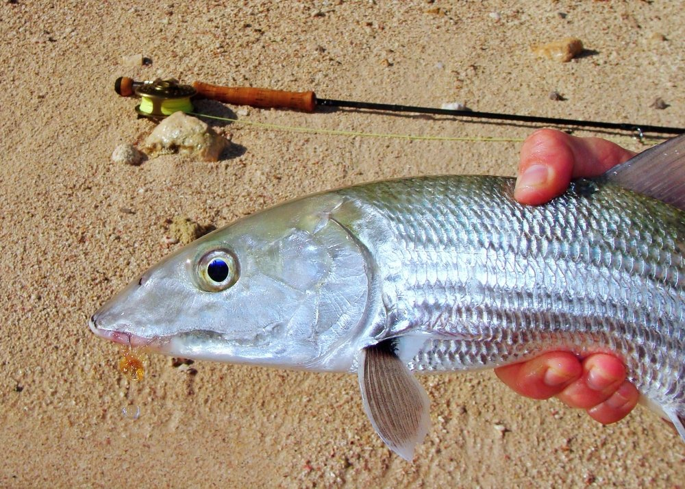 bonefish with a fly in its mouth