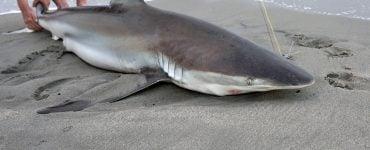 fishmerman with a sand shark on the beach