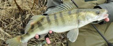 lake erie walleye fish species