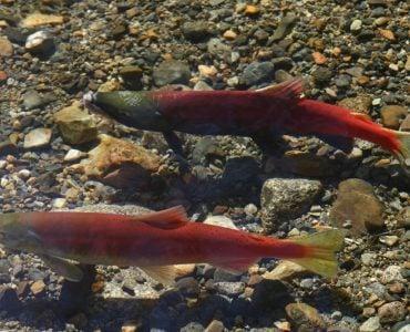Male and Female Kokanee Salmon swimming in a stream near Lake Tahoe