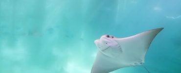 stingray swimming