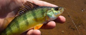 yellow perch caught while fishing